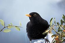 Nahaufnahme der Blackbird (Trudus Merula) hocken auf Zweig, Nationalpark Bayerischer Wald, Bayern, Deutschland
