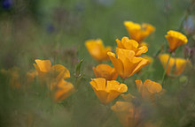 Orange Island Mohnfeld (Papaver nudicaule)
