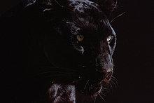 Black Panther (Panthera Pardus)