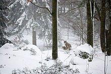 Europäischen Luchs, Winter, Nationalpark Bayerischer Wald, Gefangener, Deutschland.