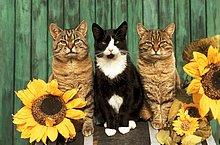 drei Hauskatzen - sitzend zwischen Sonnenblumen