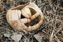 Alte, verschrumpeltes Kürbis in Garten im Herbst