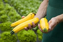 Mann,gelb,ernten,Zucchini