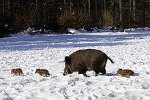 Wildschwein-Bache läuft mit Frischlingen durch Schnee im Wald (Sus scrofa)