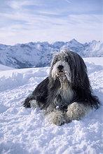 Bearded Collie liegt im Schnee, Rüde, Erfurter Hütte, Rofangebirge, Nordtirol, Österreich, Europa
