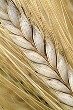 Weizenähre, close up