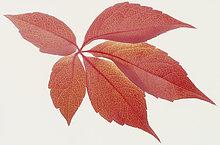 Rote Herbstblätter, Jungfernrebe