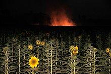 Rauch ,Hintergrund ,Feld ,Sonnenblume, helianthus annuus ,Maharashtra