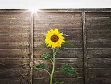 Holzwand,Sonnenblume,helianthus annuus,Wachstum