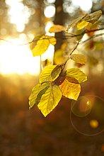 beleuchtet,Ast,Laub,Sonne