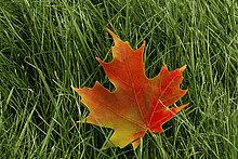 Ahornblatt im Herbst, Ottawa, Ontario, Kanada