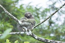 Dreifinger - Faultiere (Bradypus Variegatus) sitzen auf einem Baum, Arenal, La Fortuna, Costa Rica, Mittelamerika