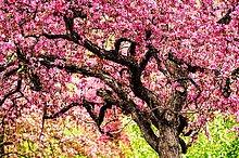 Baum ,Landschaft ,blühen ,Apfel ,Minnesota ,Universität