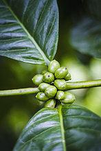 Indonesien, Kaffeepflanze mit Bohnen