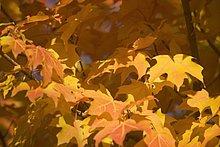 Farbaufnahme, Farbe ,Baum ,Herbst ,voll