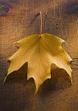 hoch, oben ,nahe ,Pflanzenblatt, Pflanzenblätter, Blatt ,Herbst