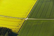 Rapsfeld und Weizenfeld durckreuzt von Feldwegen, Luftbild