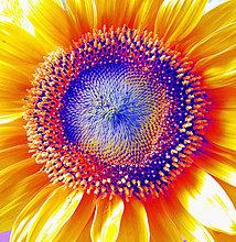 Detail, Details, Ausschnitt, Ausschnitte ,Sonnenblume, helianthus annuus ,Blume ,Blüte ,Pflanze ,Entfremdung