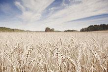 Weizenfeld gegen bewölkten Himmel