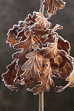 bedecken,Close-up,Eiche,jung,Frost,Januar,Powys,Wales