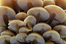 Pilz,Frucht,England,Leicestershire,November,Samt