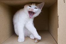 Pappe ,Fauchende Katze ,Kätzchen, Katze