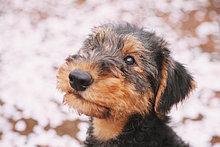 Blume ,Kirsche ,Terrier