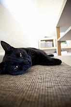 Schwarze Katze liegt zu Hause auf dem Teppich
