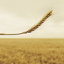 Nutzpflanze ,hoch, oben ,Feld ,reif ,Weizen ,Stängel