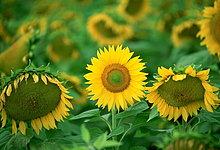 hoch, oben ,Sonnenblume, helianthus annuus ,Frankreich ,halten ,Stolz ,Gesundheit ,Außenseiter ,verwelken ,Menschenmenge ,Loiretal