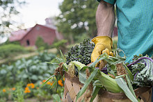 An organic vegetable garden on a farm. A man carrying a basket of freshly harvested corn on the cob.