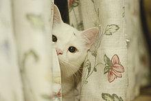 Katze schaut hinter einem Vorhang hervor