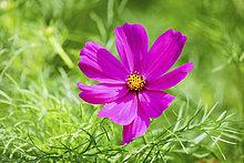 Blüte,Mexiko,1,Aster