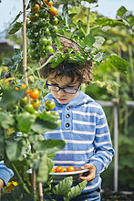 Boy picking cherry tomatoes on allotment