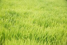 grün,Reis,Reiskorn,keimen,Indonesien