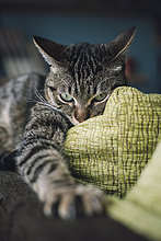 Aggressive Katze mit ausgestreckter Pfote auf der Couch