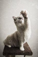 Ragdoll Katze auf Kratzbaum sitzend, Vorderbein ausgestreckt