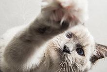 Ragdoll-Katze, Pfote zur Kamera greifend, Nahaufnahme