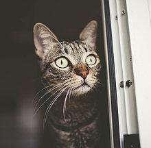 Porträt der gestreiften Katze beim Spähen