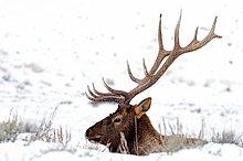 Vereinigte Staaten von Amerika,USA,Elch,Elche,Alces alces,Bulle,Stier,Stiere,Bullen,Yellowstone Nationalpark