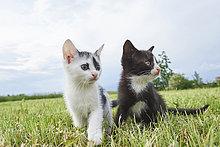 Zwei Kätzchen auf einer Wiese, Bayern, Deutschland, Europa