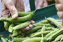 A person holding a handful of fresh picked garden pea pods.