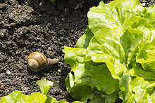 Snail moving towards butterhead lettuce in garden