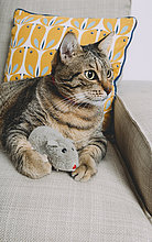 Tabby-Katze auf Sessel liegend mit Spielzeugratte, die etwas beobachtet