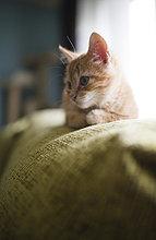 Kätzchen auf der Rückenlehne der Couch liegend