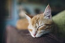 Porträt einer Katze, die auf der Rückenlehne einer Couch schläft.