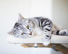 Porträt einer Katze auf Möbeln liegend