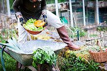 Neck down view of female gardener picking bowl of vegetables in garden
