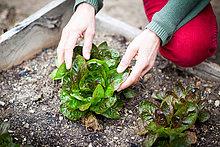 Hands of female gardener tending lettuce
