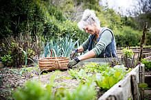 Mature female gardener tending lettuce on raised bed